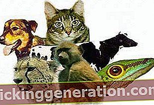 Definition af Animalia Kingdom