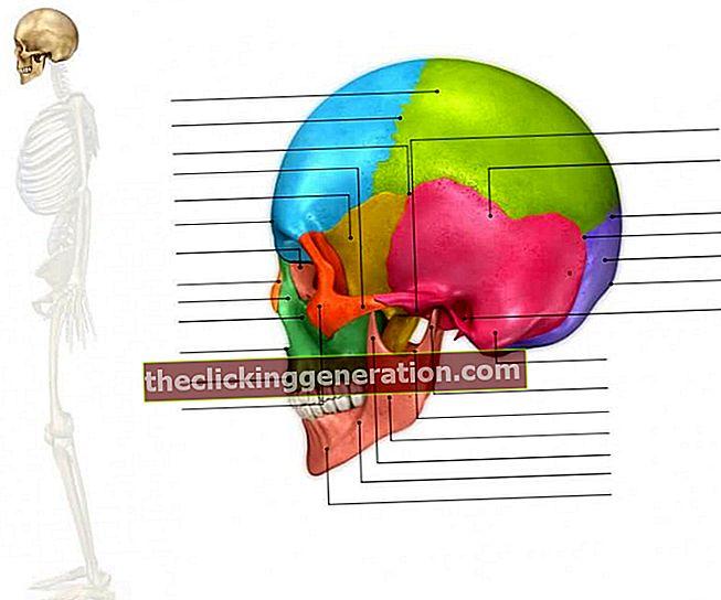 Bones of the Face - Definition, koncept og hvad det er