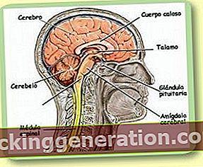 Definition af centralnervesystemet